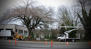 Image of workers properly pruning a tree